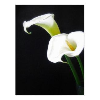 エレガントなオランダカイウユリによっては1つが開花します ポストカード