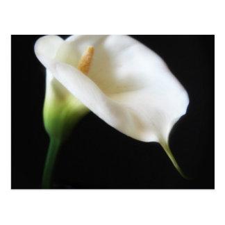 エレガントなオランダカイウユリによっては3つが開花します ポストカード