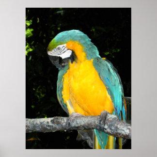 オウムのコンゴウインコのジャングルの鳥の写真ポスター芸術 ポスター