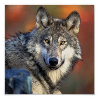 オオカミの写真 ポスター