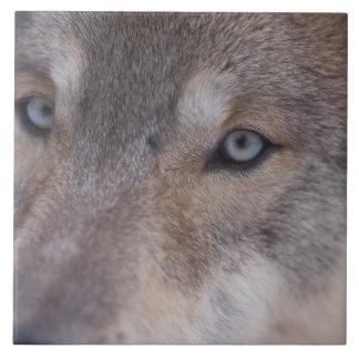 オオカミ、のふもとの小丘のイヌ属ループス、 タイル