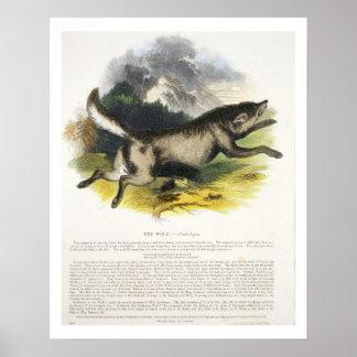 オオカミ(イヌ属ループス)の教育イラストレーションpu ポスター