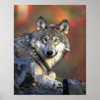 オオカミ ポスター
