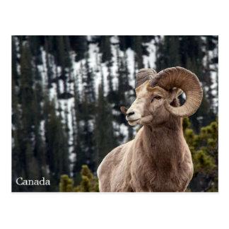 オオツノヒツジ-カナダ ポストカード