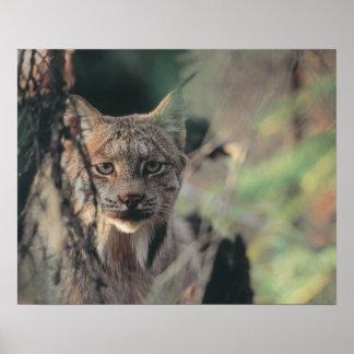 オオヤマネコ、オオヤマネコのcanadensis、Denaliの国立公園、 ポスター