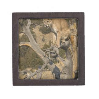 オオヤマネコ、別名ピューマのクーガー; ピューマのconcolor、2 ギフトボックス