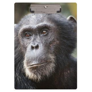 オスのチンパンジーのクローズアップ クリップボード
