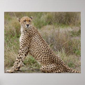 オスのチータ、Acinonyxのjubatus、Serengeti、 ポスター