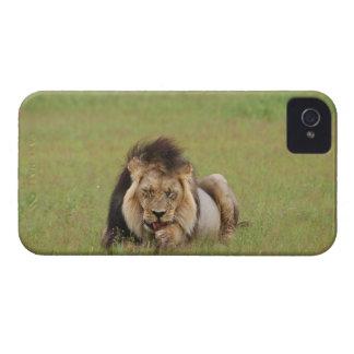 オスのライオン、それ自身をきれいにしているヒョウ属レオ Case-Mate iPhone 4 ケース