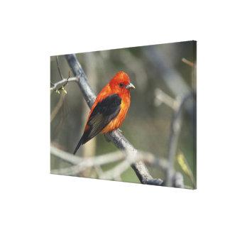 オスの深紅フウキンチョウ族、Pirangaのolivacea キャンバスプリント