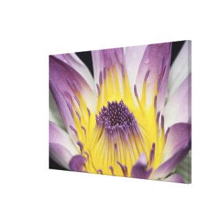オセアニア、フィージー、紫色のパナマPacifica Nymphea キャンバスプリント