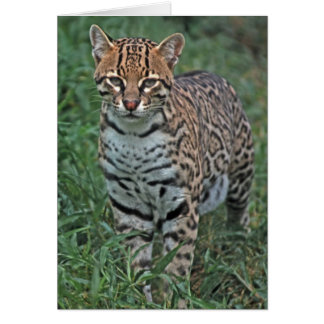 オセロットのLeopardusのpardalis)中央アメリカ カード