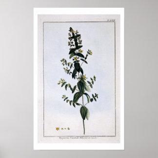 オトギリソウ、「コレクションPrecieからのプレート62、 ポスター