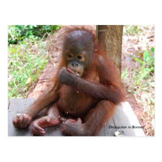 オランウータンのベビーの孤児はピーナツを食べます ポストカード