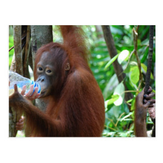 オランウータンは森林の水を飲みます ポストカード