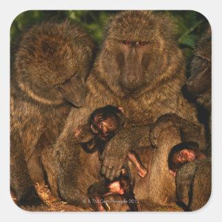 オリーブ色のヒヒ(Papioのanubis)の監視のグループ、 スクエアシール