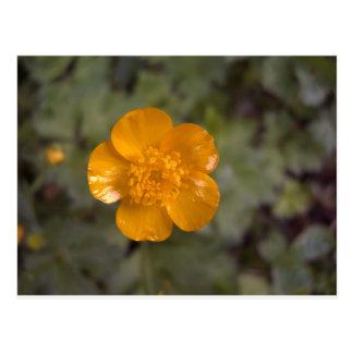 オレンジキンボウゲ1 ポストカード