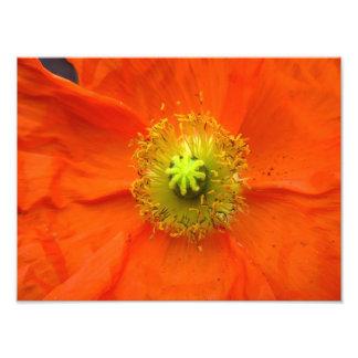 オレンジケシの花の写真のプリント 写真