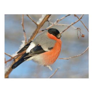 オレンジBullfinchの鳥 ポストカード