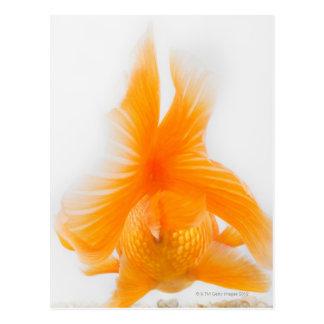 オレンジlionheadの金魚(フナのauratus) 2 ポストカード