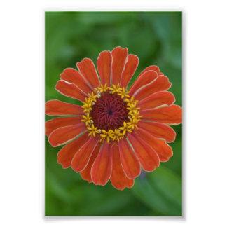 オレンジZinnaの花の花の花の写真 フォトプリント