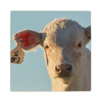 オーガスタ、モンタナ、米国の近くのCharolaiseのビーフの子牛 ウッドコースター