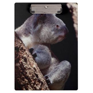 オーストラリアのコアラ(Phascolarctosのクローズアップ クリップボード