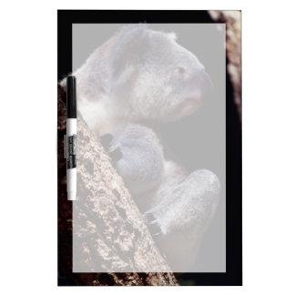 オーストラリアのコアラ(Phascolarctosのクローズアップ ホワイトボード