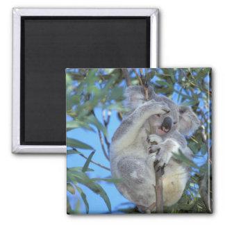 オーストラリアのコアラPhasclarctos Cinereus) マグネット