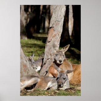 オーストラリア、アデレード。 Clelandの野性生物公園2 ポスター