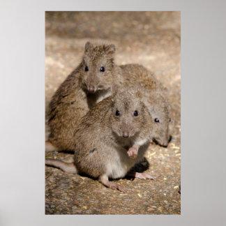 オーストラリア、アデレード。 Clelandの野性生物公園 ポスター