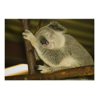 オーストラリア、クイーンズランド、ブリスベーン。 イチジクの木 ポスター
