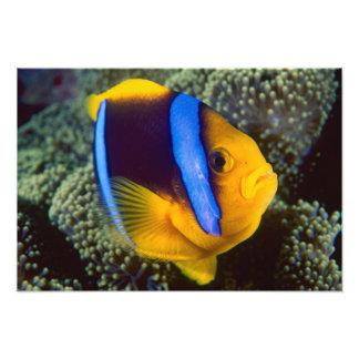 オーストラリア、グレート・バリア・リーフ、Anemonefish フォトプリント