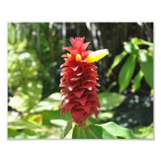 カウアイ島の赤いショウガ フォトプリント