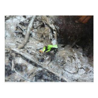 カエル、毒投げ矢のカエル ポストカード