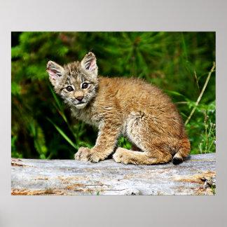 カナダのオオヤマネコの子ネコ ポスター