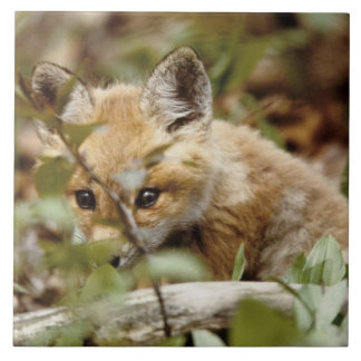 カナダのポイントPeleeの国立公園。 若いアカギツネ タイル