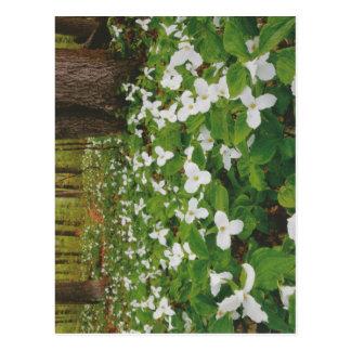 カナダの野生の白い花-低価格のギフト ポストカード