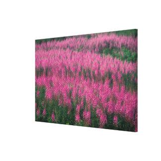 カナダ、ケベック、ガスペ。 紫色のLythrumの花、 キャンバスプリント