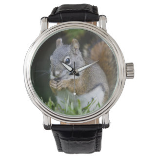カナダ、ブリティッシュ・コロンビアのアカリスのマツ 腕時計