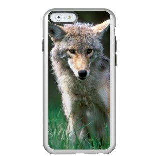 カナダ、ブリティッシュ・コロンビアのコヨーテ(イヌ属のlatrans) incipio feather shine iPhone 6ケース