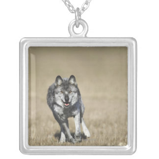 カメラの方のオオカミ(イヌ属ループス)のランニング シルバープレートネックレス
