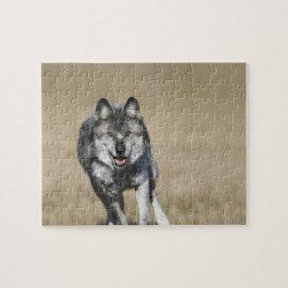 カメラの方のオオカミ(イヌ属ループス)のランニング ジグソーパズル