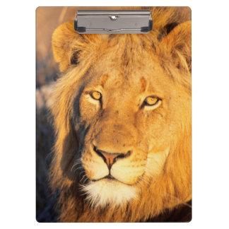 カメラを見ている赤いManedライオン クリップボード