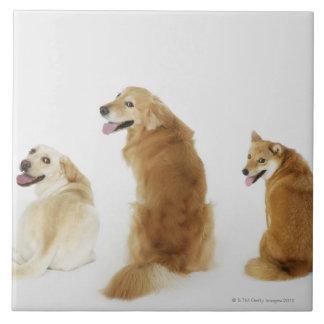 カメラを見ている3匹の犬 タイル