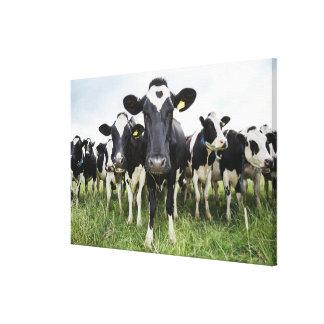 カメラを見ます続けて立っている牛 キャンバスプリント
