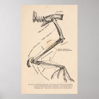 カラスのcoraxのsinuatus ポスター