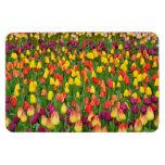 カラフルな春のチューリップのプリントの磁石 長方形磁石