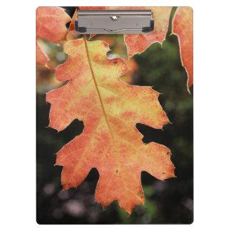 カリフォルニアの秋によって着色されるカシの葉 クリップボード