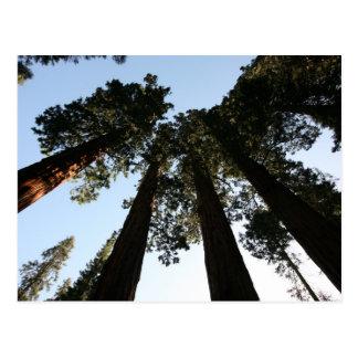 カリフォルニアレッドウッドの木の郵便はがき ポストカード